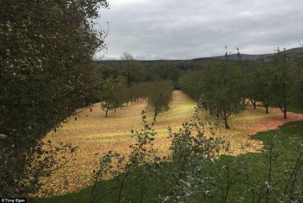 """Шторм """"Офелия"""" сорвал с деревьев десятки тысяч яблок и превратил их в ровный аккуратный ковер"""
