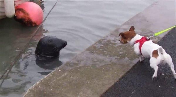 Этот тюлень стал постоянным клиентом одного из рыбных ресторанов