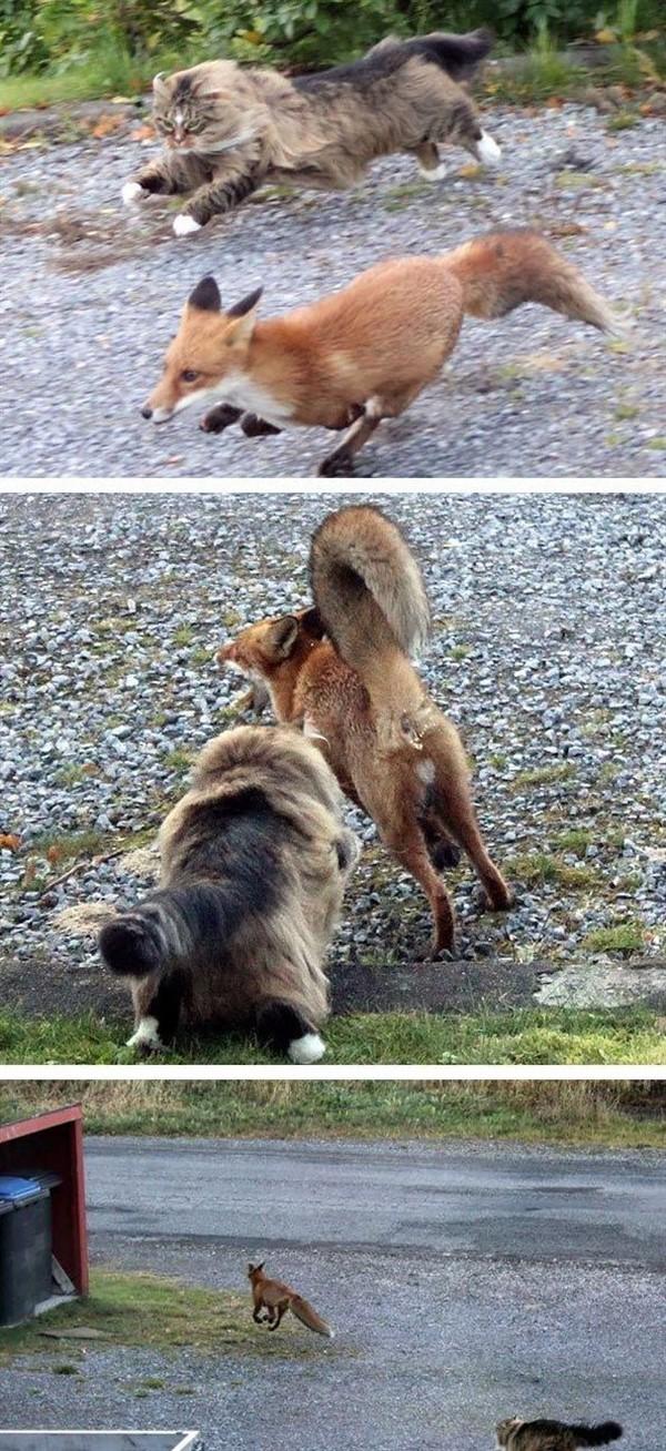 Собаки в спешке скрываются, когда эти коты выходят на улицу