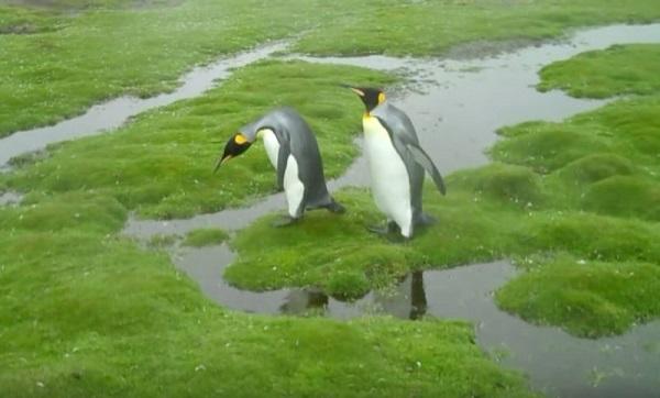 Пингвины «зашли в тупик». Самое время посовещаться — «Как быть?» Ну до чего же потешная компания!