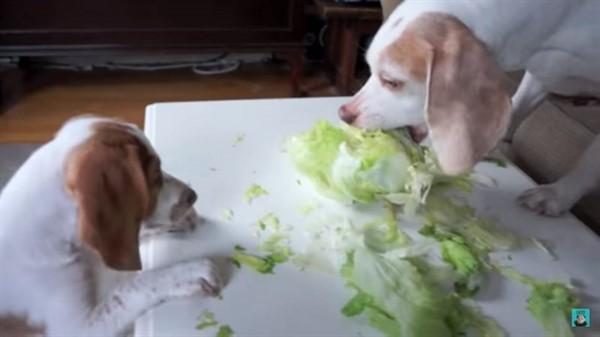 Щенок-вегетарианец. Чтобы добыть капустки он готов на всё!