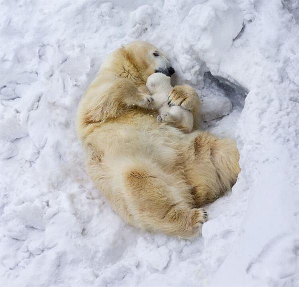 13 забавных и трогательных моментов из жизни белых медведей
