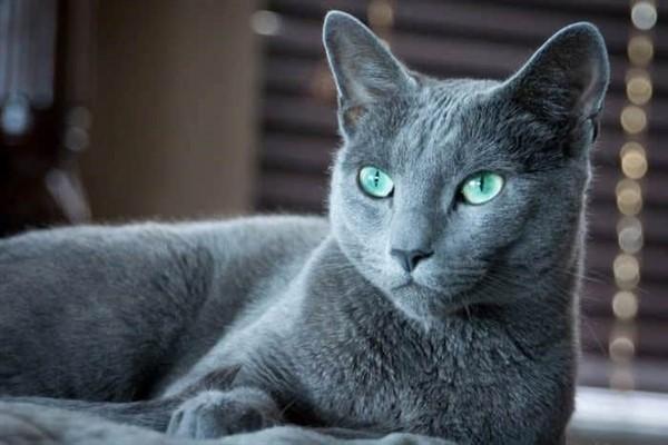 10 самых дорогих и редких кошек!