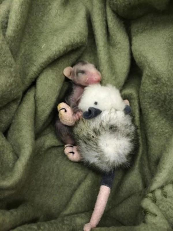 Детеныши опоссума — самые милые существа на свете