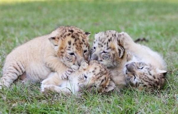 Редчайшие кадры детеныши белой тигрицы и белого льва