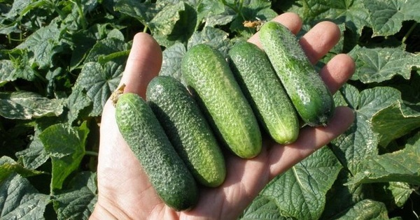 Шпаргалка на лето — 5 рецептов от всех болезней огурцов