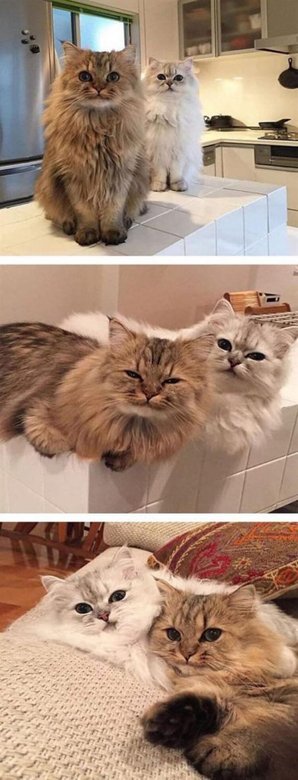 25 нереально пушистых котов, которых так и хочется постоянно обнимать (25 фото)