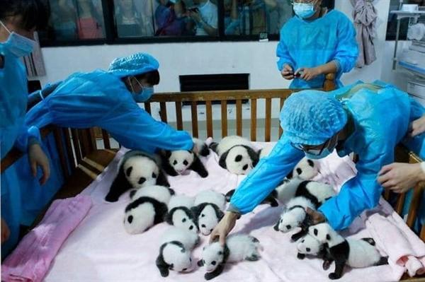 Детский сад для панд — самое милое место на земле (16 фото)