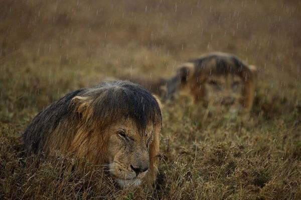 У животных свои способы спрятаться от дождя (16 фото)