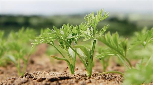 Простой способ посева моркови без прореживания. Первые всходы через 3 дня!